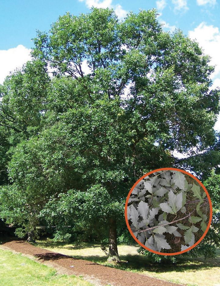 Replanting the Community Tree Canopy Post-Ash Tree Decline ...